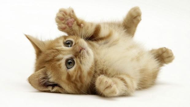 boli pisici
